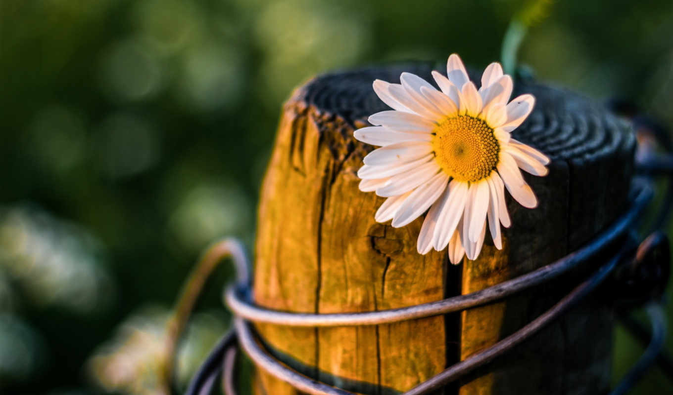 facebook, cover, daisies, flowers, covers, daisy, photos, profile, photo,