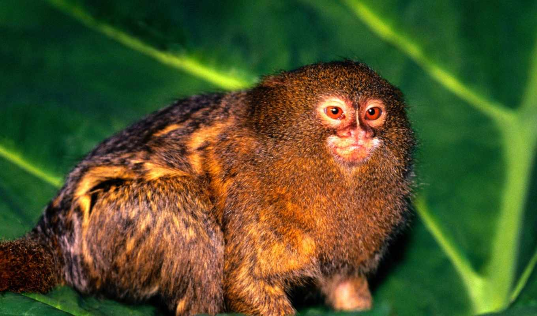 игрунка, фотография, карликовая, kartinka, приматов, pygmaea, cebuella,