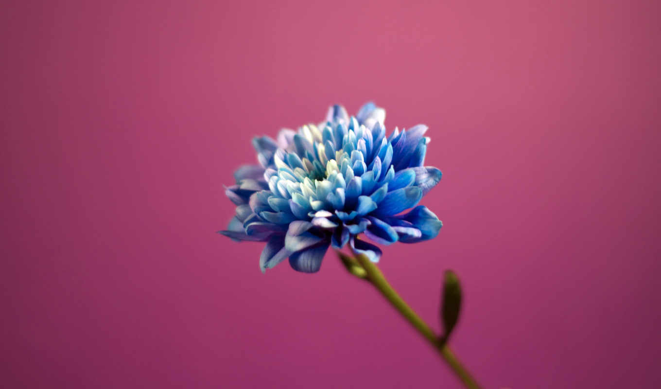 wallpaper, flower, hd, ipad, download, full, wallpapers, desktop, blue, view, lovely, to, and, dahlia,