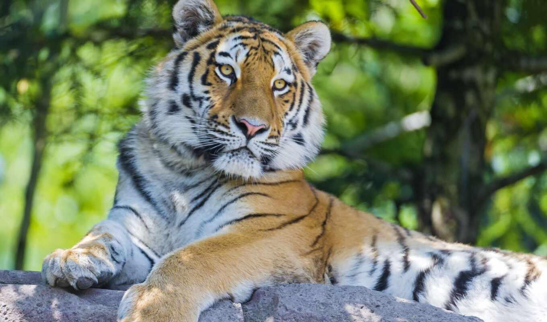 тигр, хищник, амурский, кошка, big, tigers, cats, животные, animals, картинка,