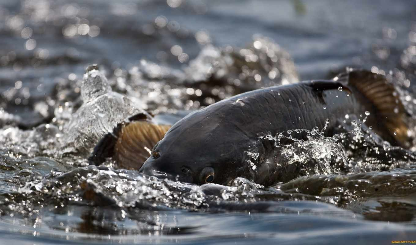 carp, surfacing, with, background, download, picture, free,