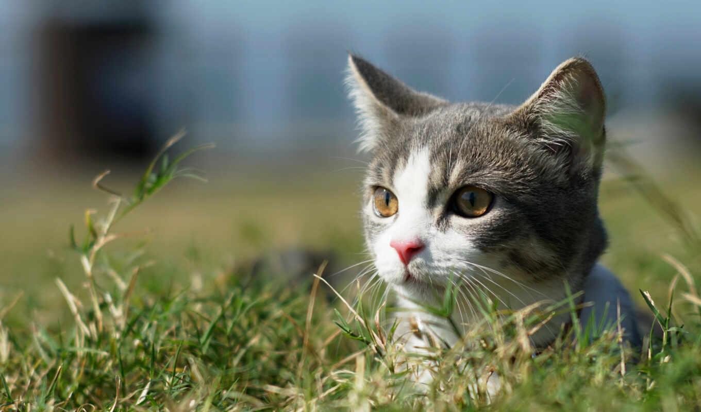 кот, взгляд, котенок, трава, ноутбук, детёныш, тигр
