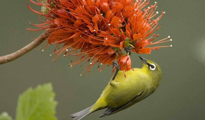 animals, birds, bird, facebook, covers, flower, pale, flowering, bottlebrush, photo, orange, eye, free, white, tags,