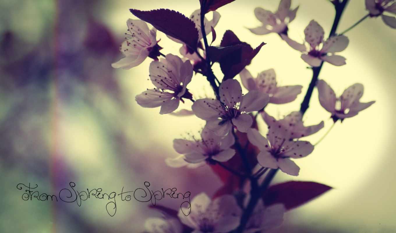весна, cvety, дерево, cherry, Сакура, flowers,
