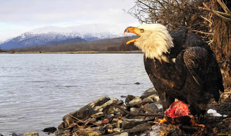 орлан, лысый, американский, america, north, challenger, chỉ,