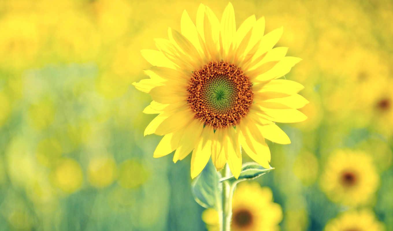 посмотрите, cvety, profile, more, информацию, темы, flowers, подсолнух, pinterest, вк,