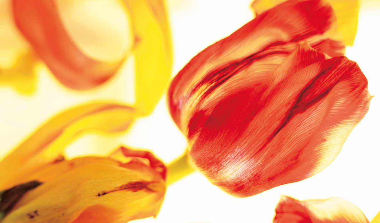 желные, тюльпаны, красные