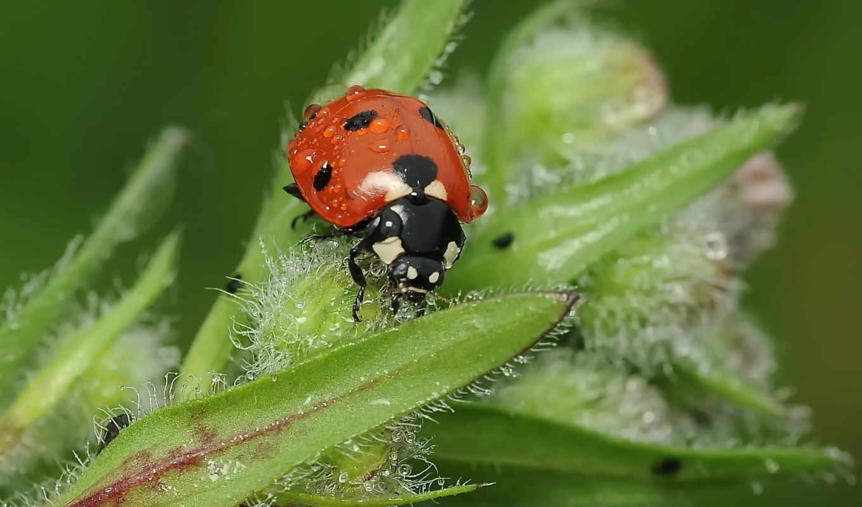 божья, коровка, насекомое, листья, роса, капли, жук, desktop, макро, картинка, plant, click, трава, water,