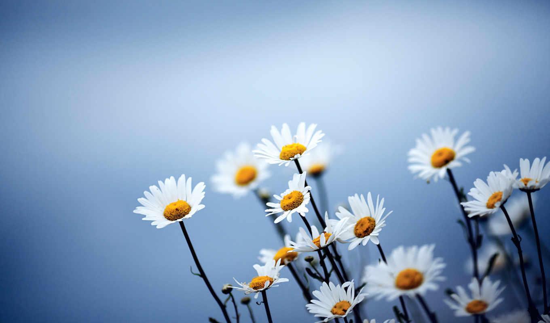 цветы, ромашки, синий, galaxy,