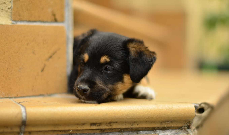 собаки, животные, щенок, плата,