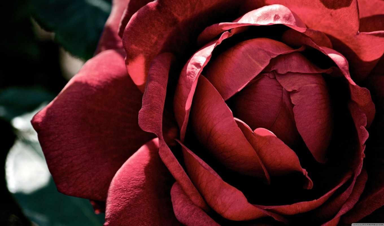 роза, dark, desktop, resolution, природа, black,