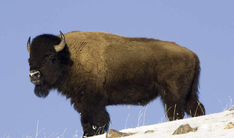 bull, животных, быки, zhivotnye, горные, автомобили, бараны, под, горы, природа, быков,