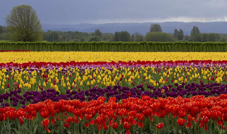 тюльпаны, pole, cvety, цветы, тюльпан,