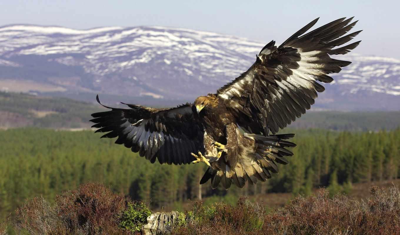 орлан, птица, золотистый, хищник, wings, картинка, полет,