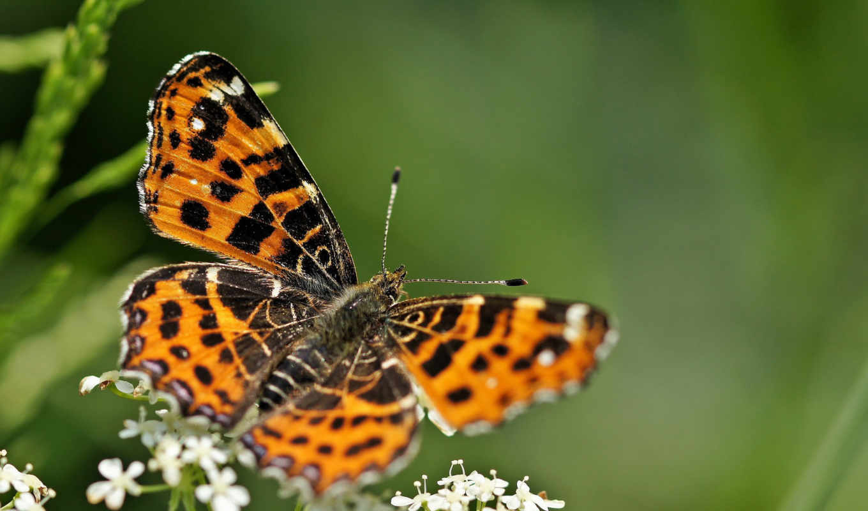 бабочка, high, animal, качество,