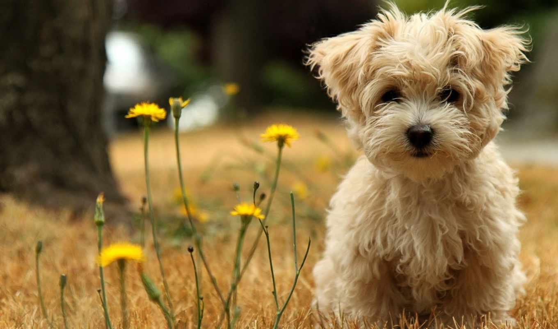 болонка, щенок, болонки, мальтийская, назад, собака, природа,