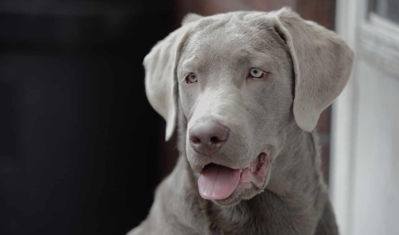собак, породы, красивые, самые, мире, top, пород, самых, labrador, красивых,