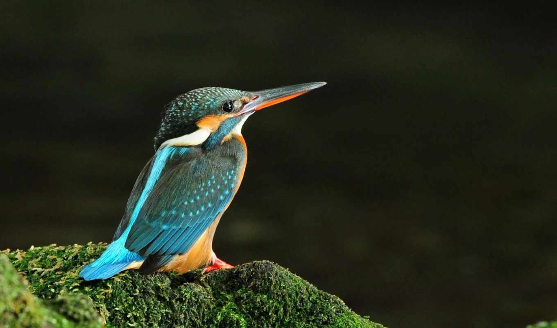 kingfisher, wallpaper, free, птица, wallpapers,