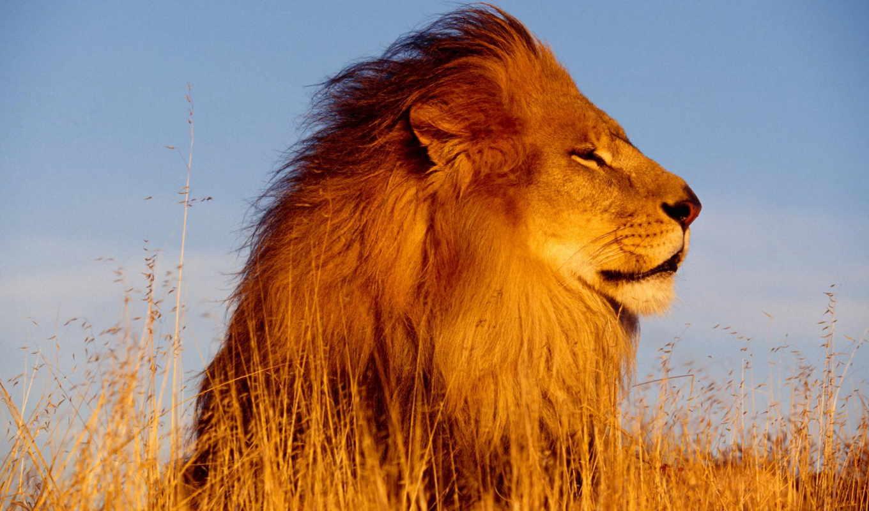 львы, льва, lion, кошки, животные, голова,