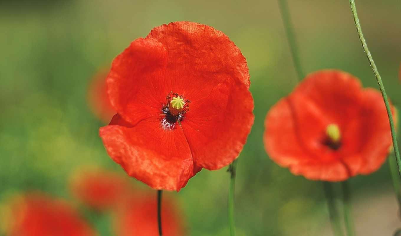 ,красные, маки, природа, шляпой, цветы, зелень,