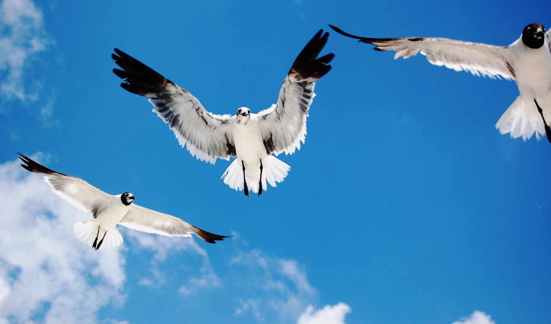 чайки, птицы, полет, небо,