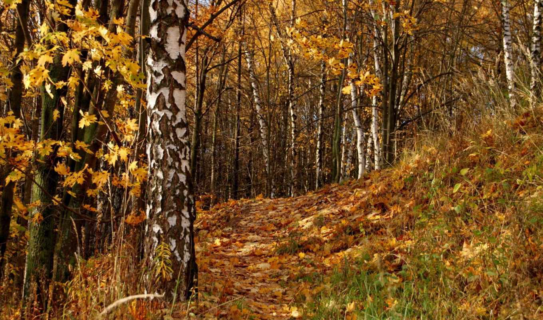 Березы осенью в лесу без смс