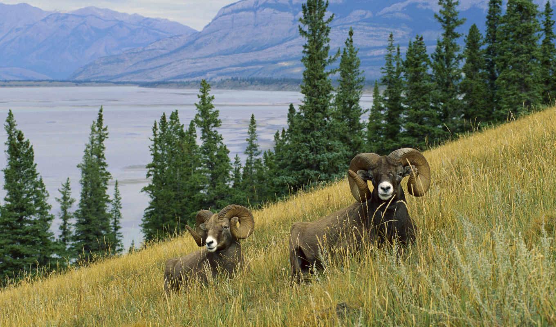 animals, животные, животных, бараны, pictures, презентация, горные, animal, sheep, gazelle, some, download, free, alaska, you, заставки, are, wonderful, код, фотографии,