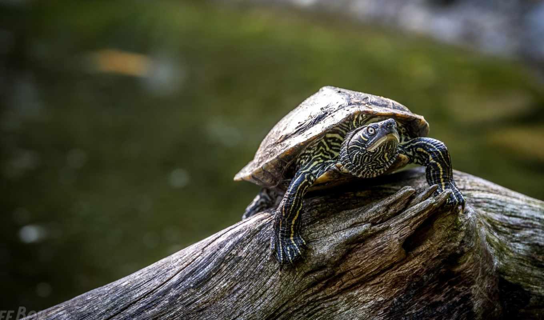 черепаха, панцирь, photos, бревно,