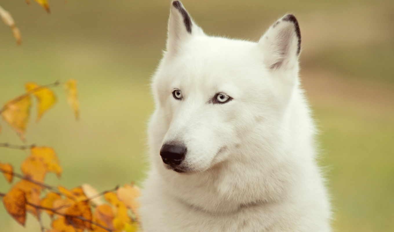 , собака, canidae, dog breed, Сибирский хаски, хищник, canaan dog, sakhalin husky, морда, щенок, здоровяк,  arctic wolf, волкодав,