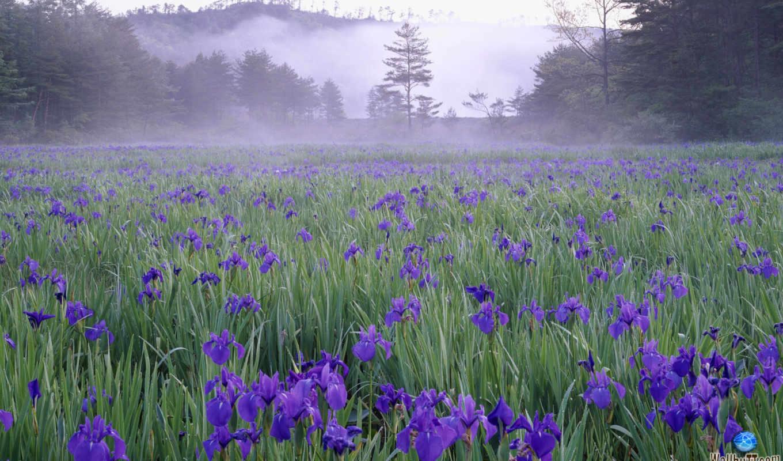 поле, луг, туманное, утро, изображение, flowers, часть, ирисах, красивые, пол, петушков, диких, buddha, лиловых, картинку, кнопкой, правой, mate, views, jtb, amazing,