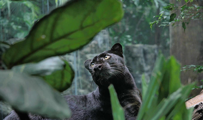 пантера, голова, vzglyad, усы, хищник, дикая, кошка, чёрный, glaza,