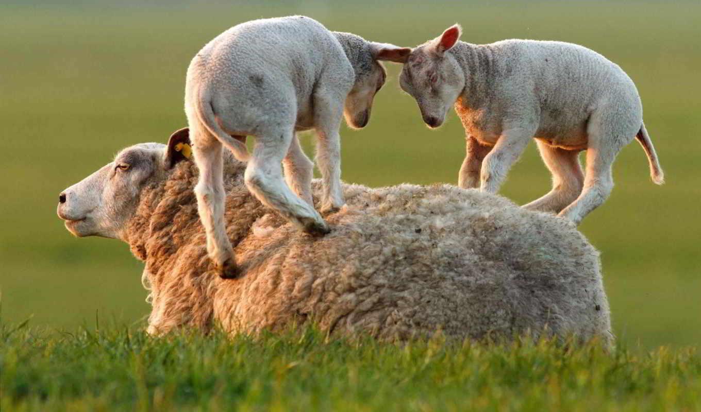 sheep, овцы, трава, ягнята, game, можно,
