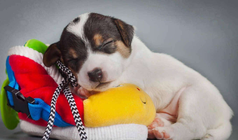 щенок, спит, sleeping,