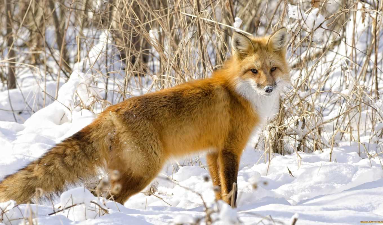 фокс, лис, jak, nazywa, собака, zwierze, white, хищники,