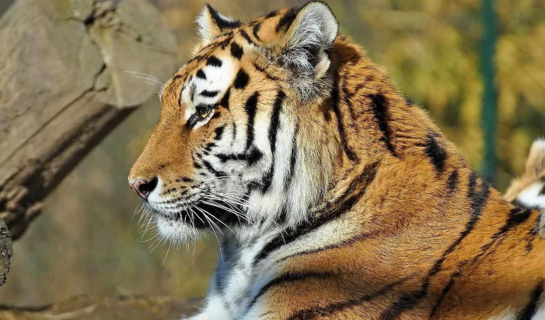 тигр, усы, морда, лежит, профиль, полоски, картинку, картинка,