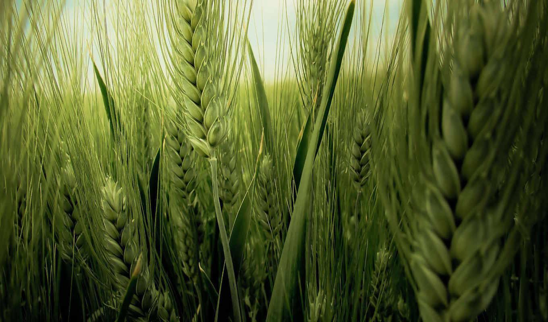 колосья, природа, поле, урожай, жизнь, нивы, пшеницы, marnie, zenobia, зеленой, родословная, колоски, celebra, включен, дата, госреестр, пшеница,