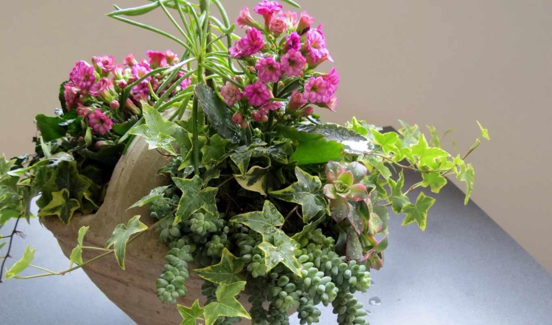 цветы, каланхое,