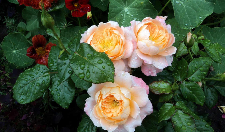 розы, cvety, капли, воды, листья, нравится, куст, просмотреть,