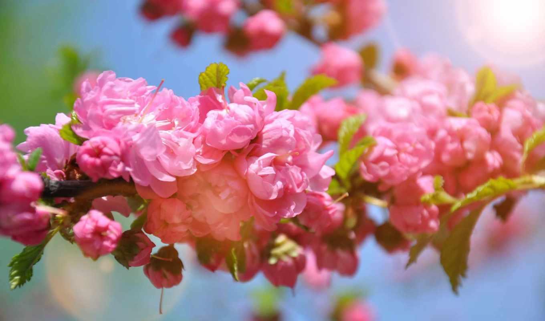 природа, цветы, desktop, малика, flourishing,