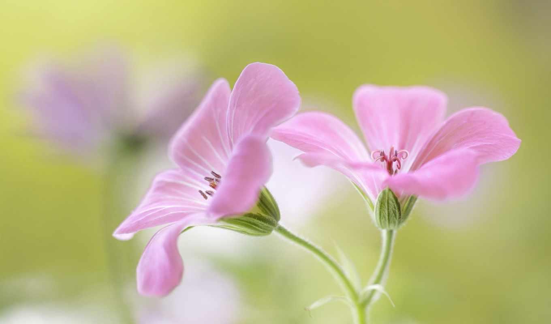 цветы, прекрасные, розовые, растущие, площадь, illustration, мар, art,