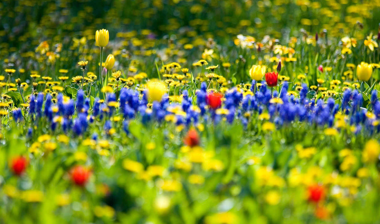 поле, cvety, весеннее, весенние, тюльпанов, весна, природа, garden,