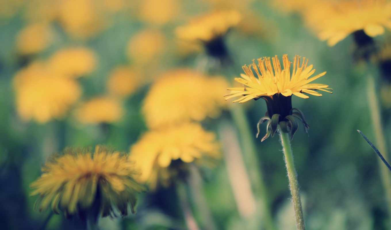 макро, тепло, свет, sun, одуванчик, весна, yellow, cvety, бок