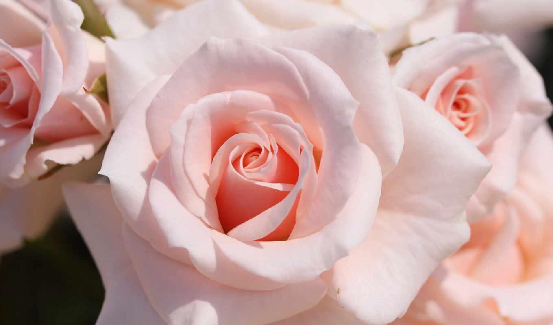 srochnyi, роза, нежность, makryi, кыргызстан, shibchenko, human, dogovornyi, объявление, розовый, color