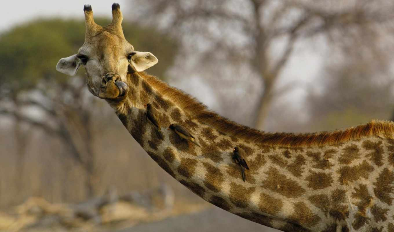 giraffe, giraffa, camelopardalis, giraffidae, семейство, белый, gray, серенги, johnstoni, признак, жирафовые, okapia, окапи,