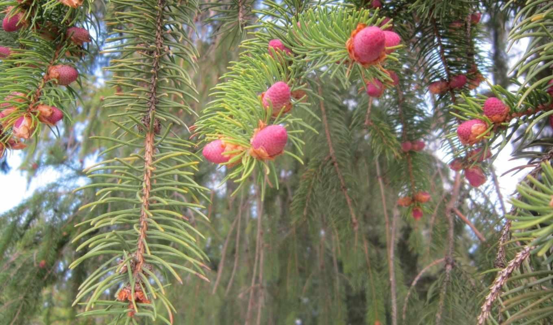 лес, шишки, елки, иголки,