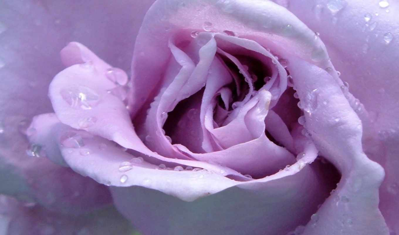 lavender, роза, roses, об, pinterest, more, purple, see, single,