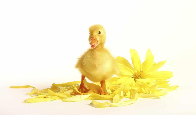 цветок, пушистик, duckling, животные, chrysanthemum, ellow, download, cute,
