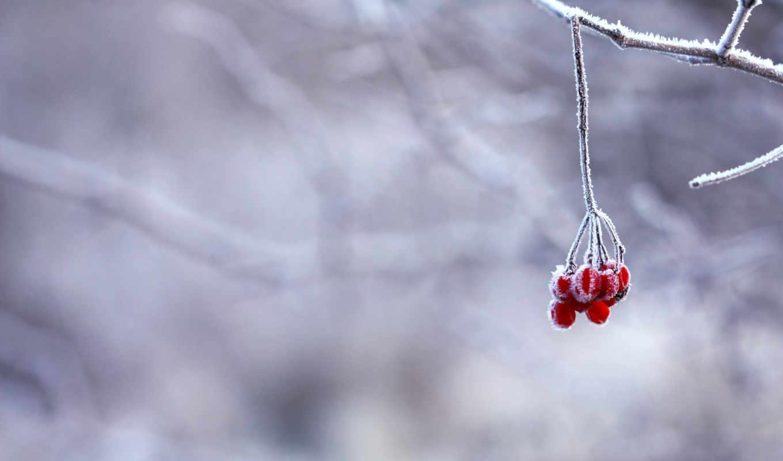 ягоды, зима, ветка, иней, красные, снег, картинку, картинка, кнопкой,