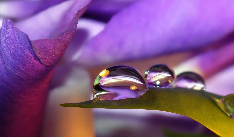 капля, листья, сиреневый, капли, росы, look, цветы, капельки,
