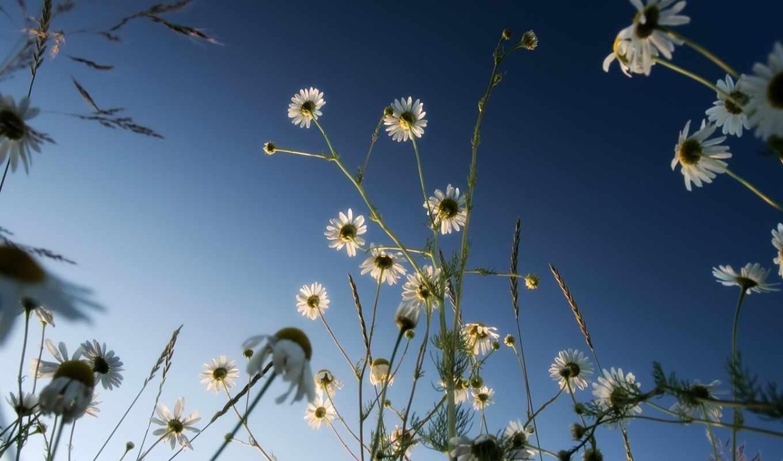 ромашки, небо, цветы, синий, просмотреть,